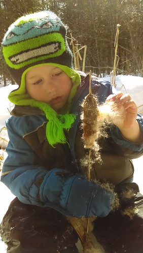 spreading cattail seeds