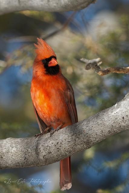 Northern Cardinal/Cardinal Rouge (In my backyard)