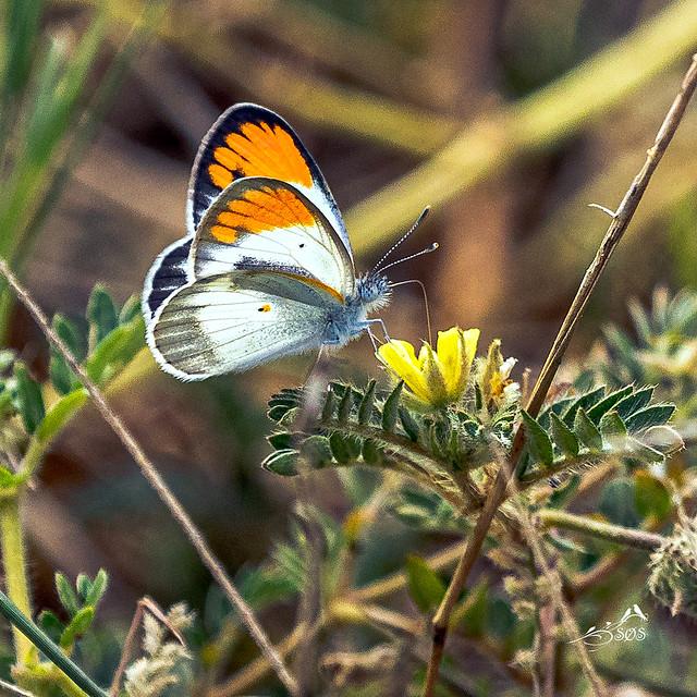 KV4A3009   Colotis (Colotis) evagore i,  Temba Safari - Marken - Limpopo - Southafrica