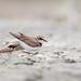 Little ringed plover/ছোট নথজিরিয়া