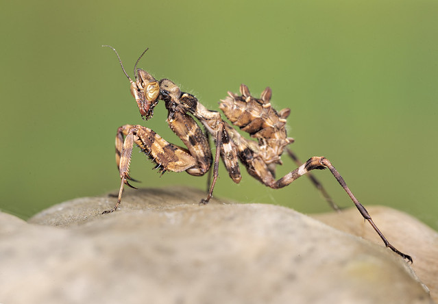 Thistle Mantis On Log