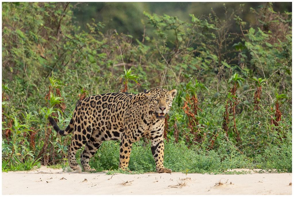 Jaguar (male) (Panthera onca) in de Pantanal in Brazilië ...