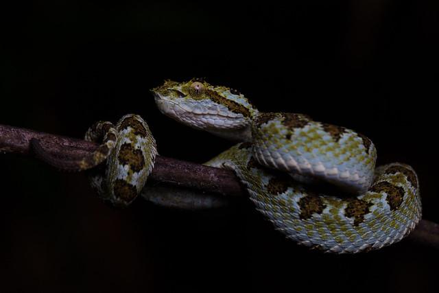 Blotched Palm-Pit Viper