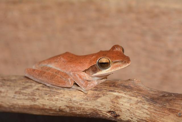 Polypedates maculatus