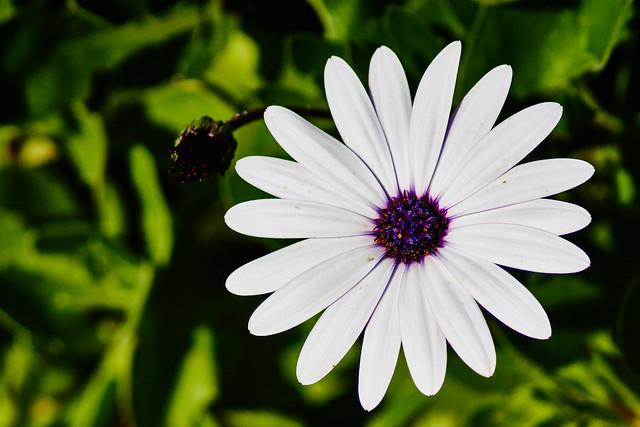 Life and death (Dimorphoteca)