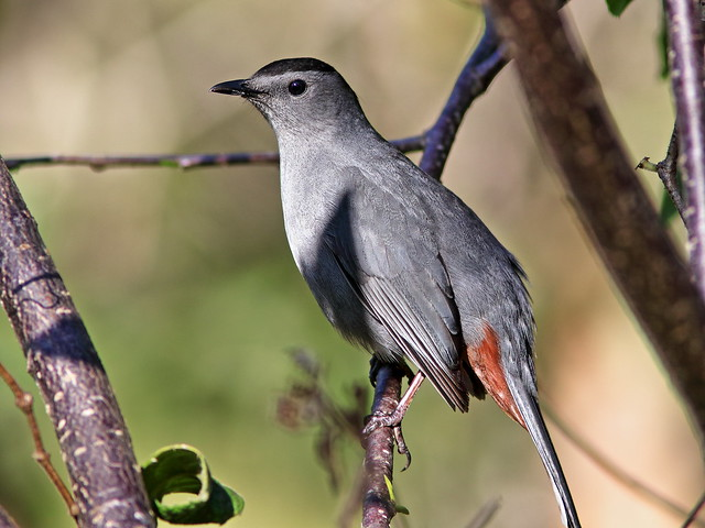 Gray Catbird 20200322