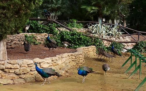 pavo real cristatus aves parque