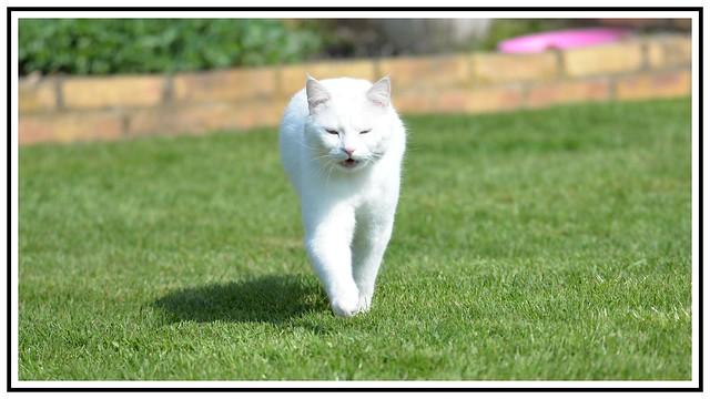 le cats blanc