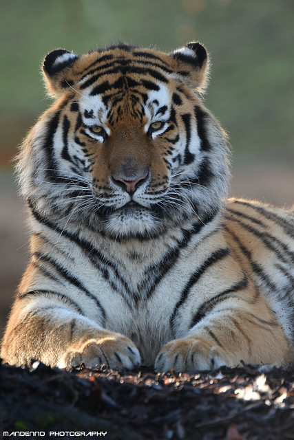 Siberian tiger - Pairi Daiza