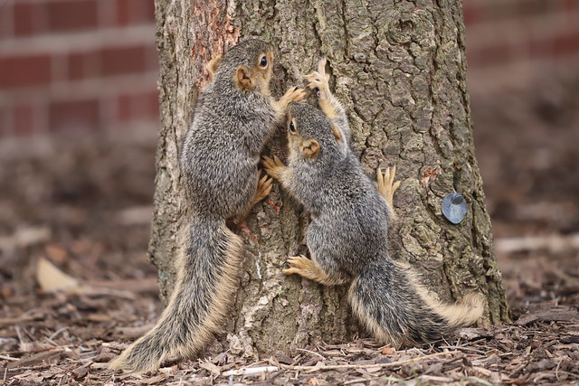 Fox Squirrels in Ann Arbor at the University of Michigan 87/2020 290/P365Year12 4307/P365all-time (March 27, 2020)