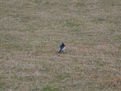 Japanese pied wagtail (Motacilla alba lugens, ハクセキレイ)