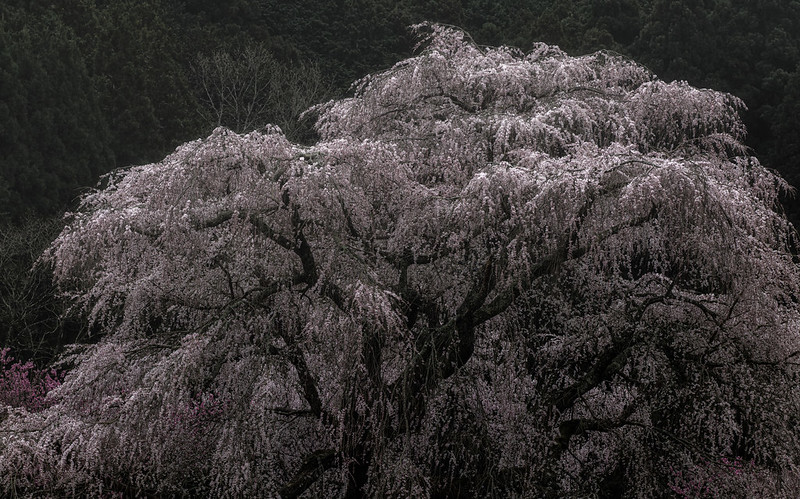 The mysterious old cherry blossoms ( 又兵衛桜 )