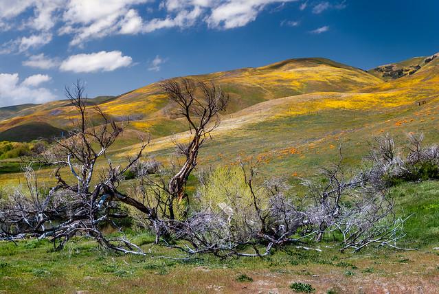 California Dreamin'...poppy fields in Springtime.