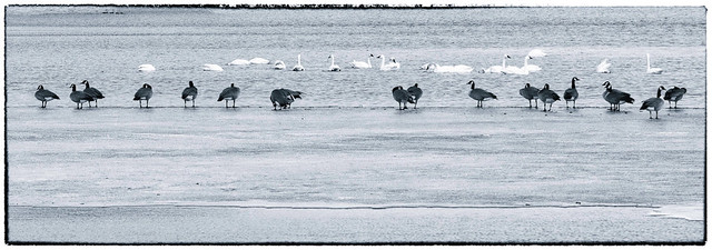 Waiting Their Turn In The Pool:  Geese vs Swans