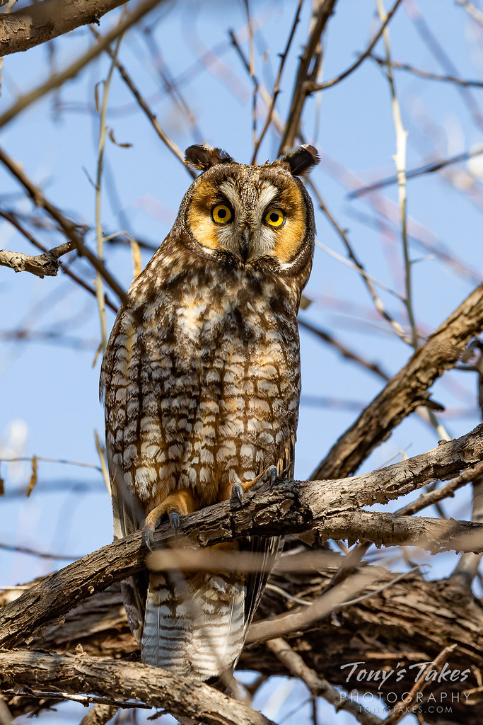 Long eared owl focused on the photographer