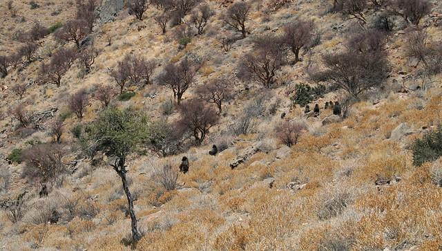 Namibia: troop of baboons, Namib-Naukluft Park