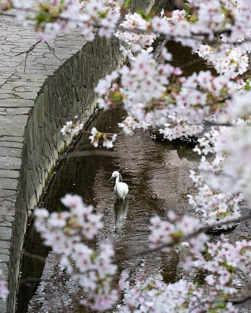 Egret and sakura
