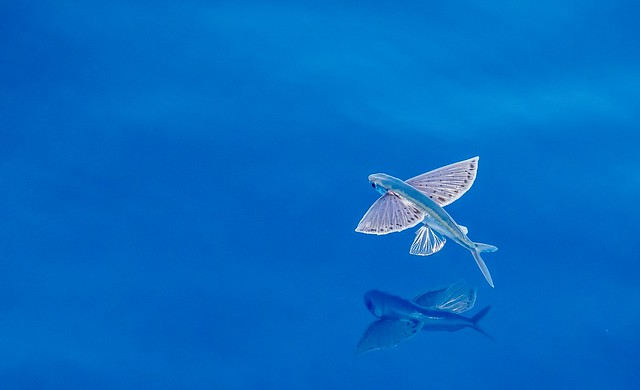 Freckled Pinkwing Flying Fish