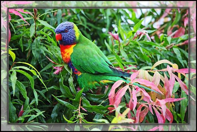 Rainbow Lorikeet camouflage