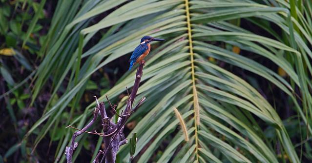 Common kingfisher (Alcedo atthis) - Sungai Batu mangroves, Merbok, Kedah, Malaysia - Feb 2020
