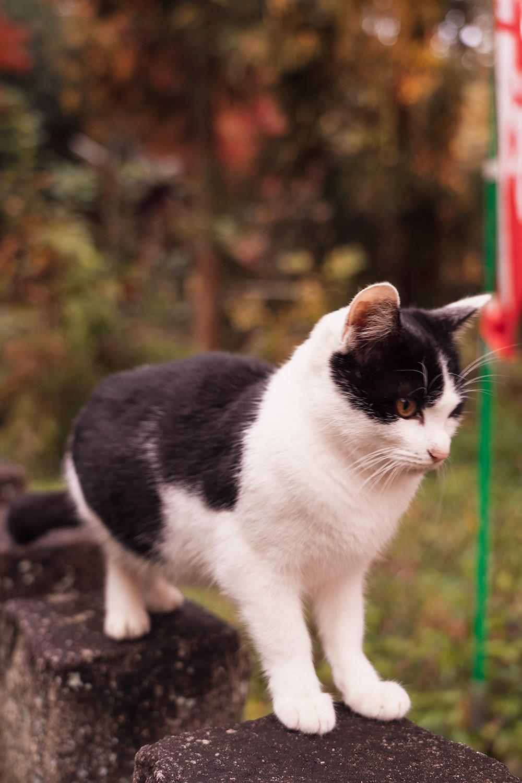 37kyoto-fushimi-inari-cat-japan-travel