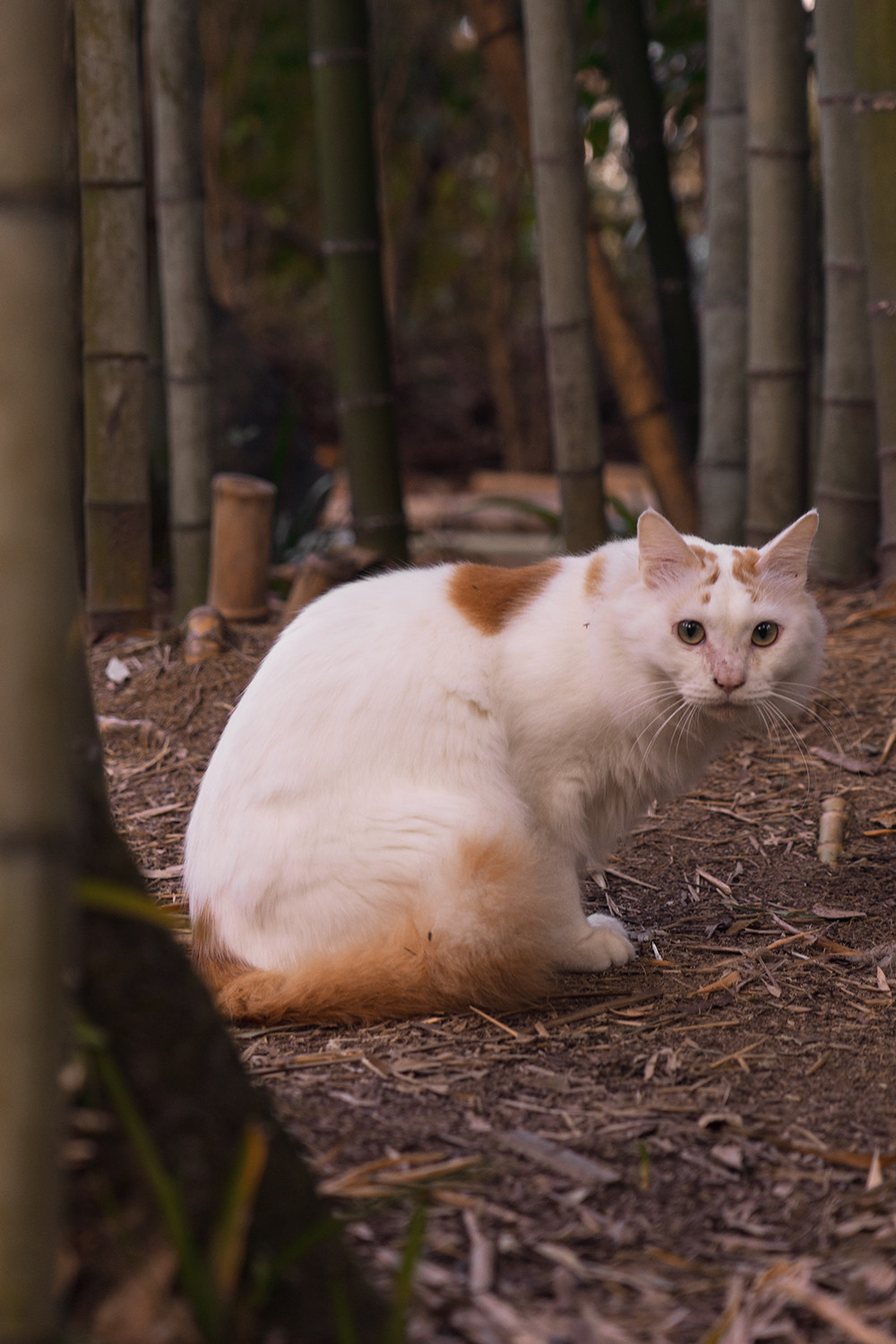11kyoto-arashiyama-bambooforest-cat-japan-travel