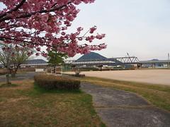 Pink cherry blossoms (桜), Shinkansen, and Mikamiyama