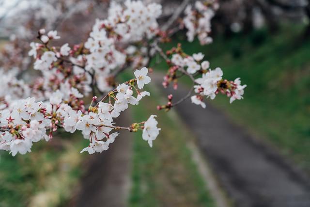 Cherry_blossoms2_07