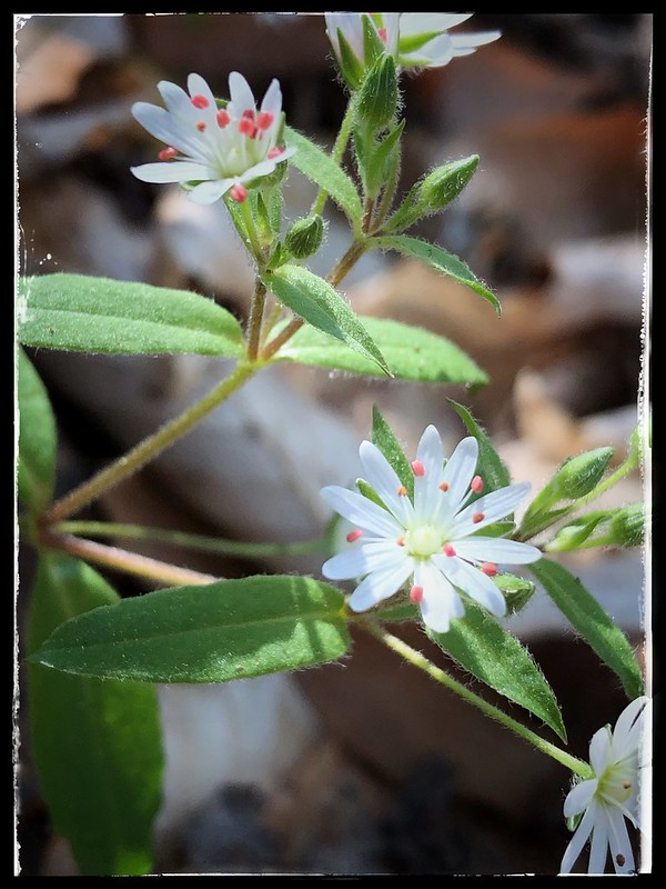 Today's Find: Star Chickweed