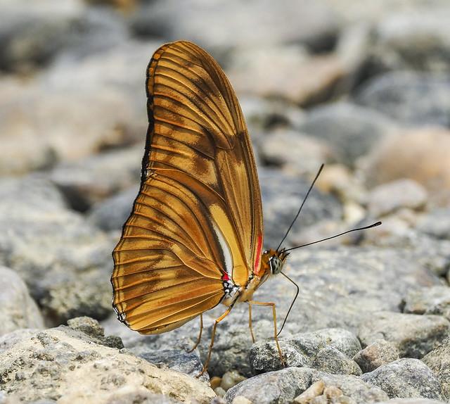 Julia Longwing - Dryas iulia (Nymphalidae, Heliconiinae, Heliconiini) 120y-2074133
