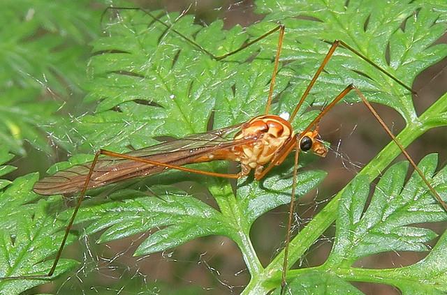 Tiger Crane Fly, Nephrotoma sp., DeAnza Trail, Tubac