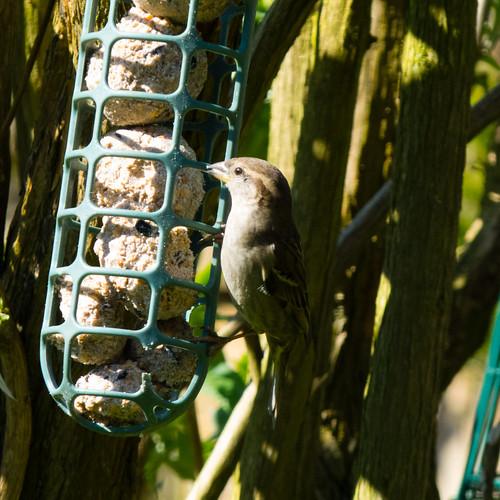 #lockdown #gardensafari female sparrow on fat ball feeder