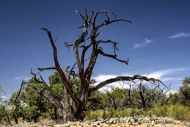 A dead tree in Caynonland National Park