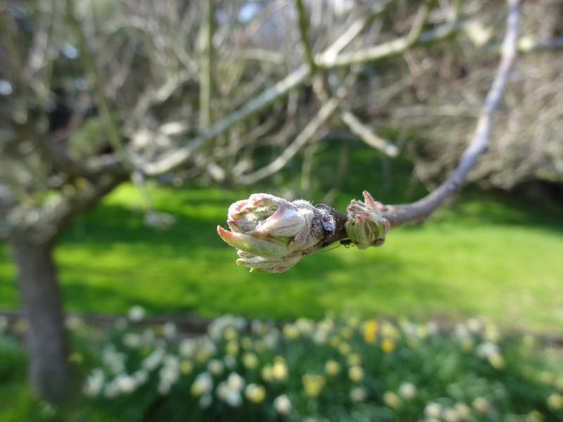 Apple tree coming into leaf