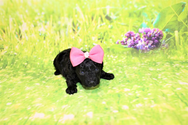 1 Tiffany Female CKC Malshipoo 1lb 1.5oz 2W5D old (55)