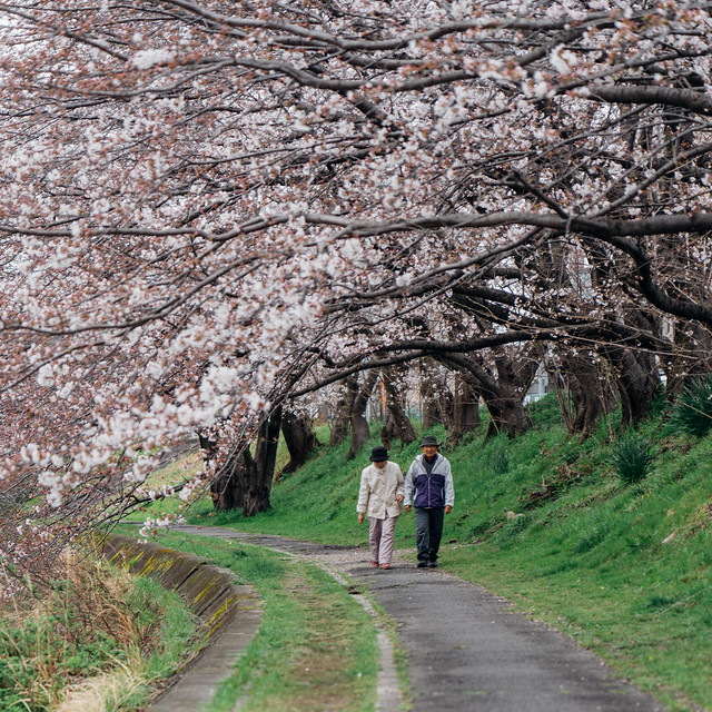 Cherry_blossoms2_99