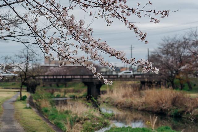 Cherry_blossoms2_04