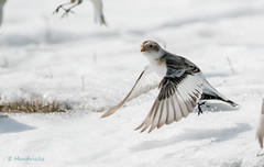 0P6A2530 Snow Bunting