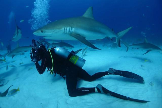 Grey shark & diver