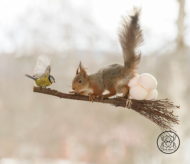 red squirrel standing  on a broom with an tit