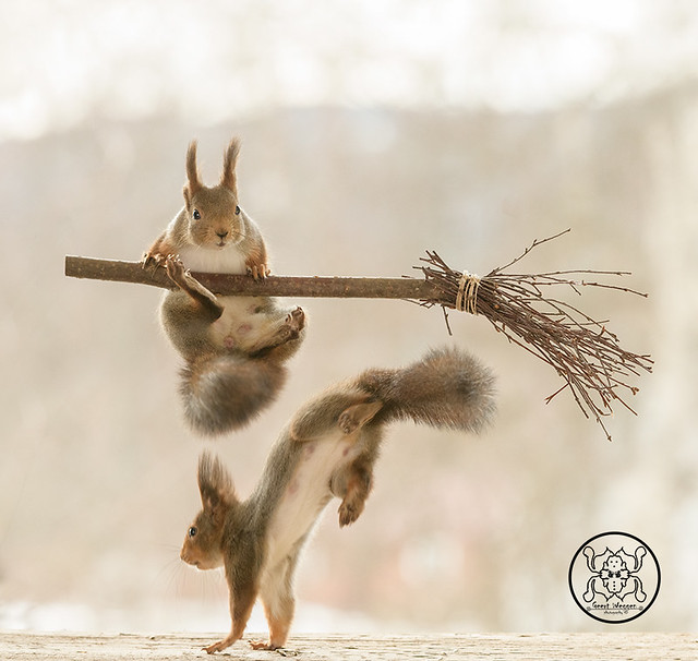 red squirrel is climbing on a broom