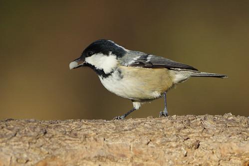 wild bird wildlife nature lackfordlakes suffolk coaltit periparusaterwoodland