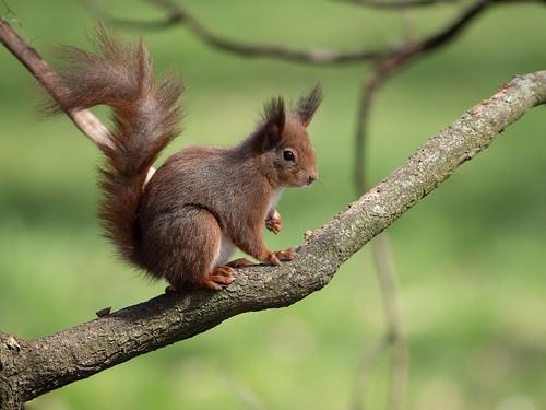 Eichhörnchen in Explore 2020-03-28