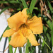 A little bit of sunshine in these dark days - Daylilies at Voyager Winery Margaret River