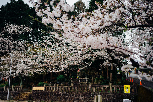 Cherry_blossoms2_10
