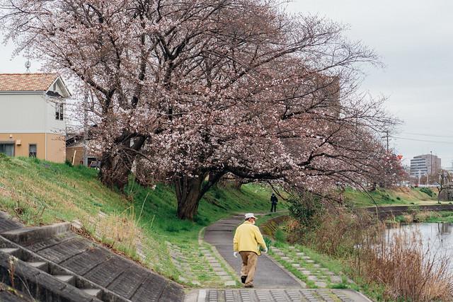 Cherry_blossoms2_09