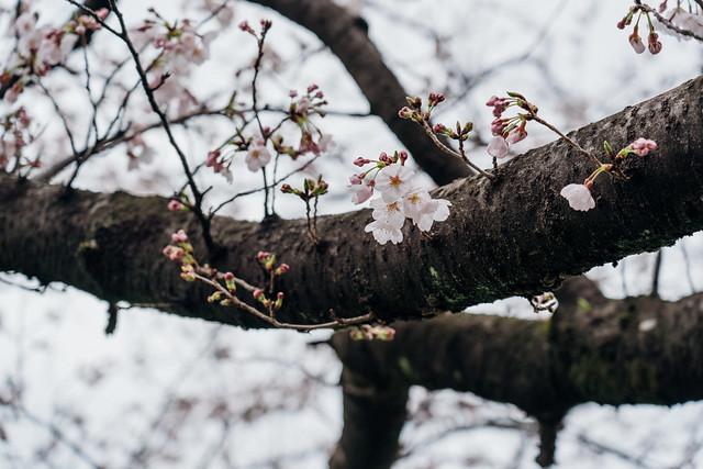 Cherry_blossoms2_08