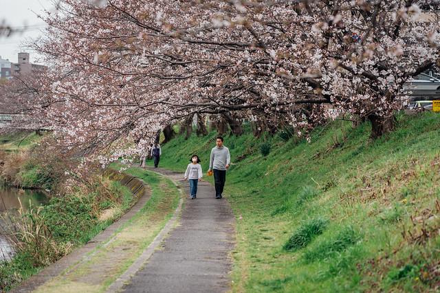 Cherry_blossoms2_06