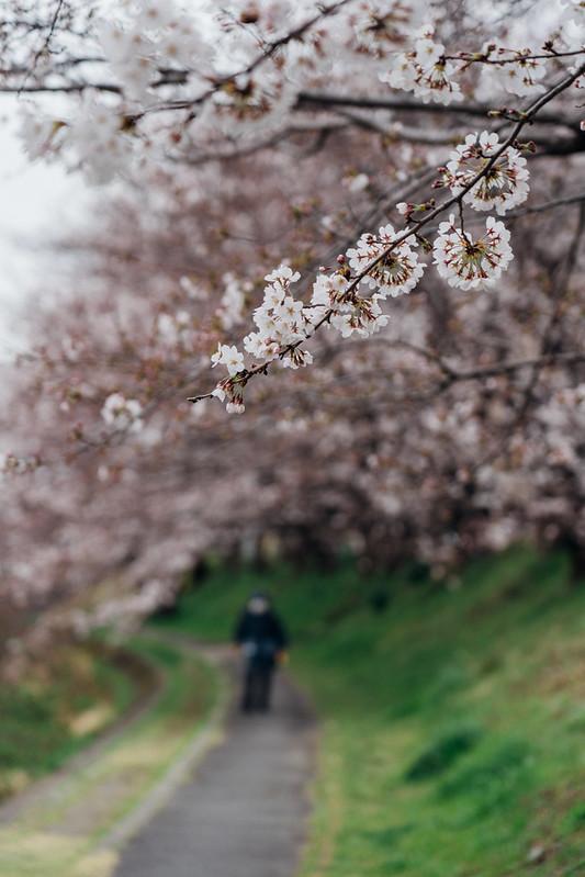 Cherry_blossoms2_05