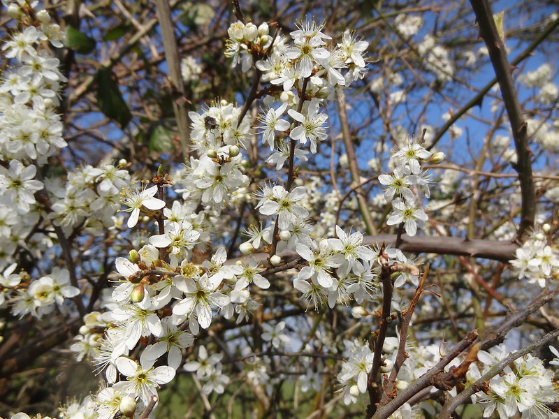 Hawthorn flowers, on the Bacton road